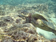 Free Diving Prints - Hawaiian Green Turtle Print by Michael Peychich