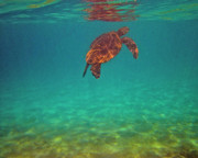 Green Sea Turtle Photos - Hawaiian Sea Turtle - Floating by Bette Phelan