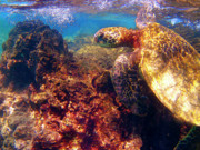 Hawaiian Metal Prints - Hawaiian Sea Turtle - on the Reef Metal Print by Bette Phelan
