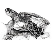 Pen And Ink Drawing Prints - Hawaiian Sea Turtle Print by Eric Young