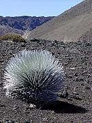 ; Maui Originals - Hawaiian Silversword Plant by Dustin K Ryan