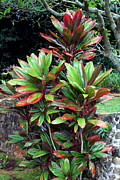 Cordyline Framed Prints - Hawaiian Ti Framed Print by Karon Melillo DeVega