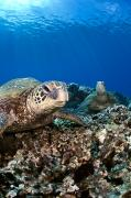 Dave Fleetham Prints - Hawaiian Turtle on Pacific Reef Print by Dave Fleetham