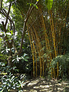 Bamboo Posters - Hawaiian Yellow Bamboo - Big Island Poster by Daniel Hagerman