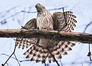 Tail Photo Originals - Hawk Antics by Bonnie Barry