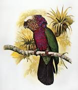 Amazon Parrot Prints - Hawk-headed Parrot Print by Granger