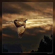 Blake Richards Framed Prints - Hawk in Flight Framed Print by Blake Richards