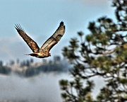 Hawk Digital Art - Hawk in Flight by Don Mann
