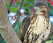 Hawk In Tree 3 Print by Becky Lodes