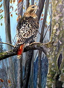 Red Tail Hawk Paintings - Hawk on Watch by Leslie Hoops-Wallace