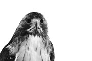 Decor Photography Prints - Hawk on White Background Print by Stephanie McDowell