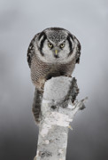 Jim Cumming Art - Hawk-Owl Staredown by Jim Cumming