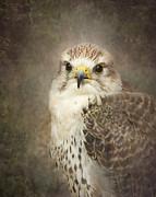 Hawk Print by Pauline Fowler