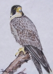 Hawk Drawings Framed Prints - Hawk Framed Print by Tammy Dunn