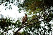 Venura Herath - Hawk