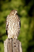 Ornithology Framed Prints - Hawk Waiting for Prey Framed Print by Christine Till