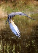 Florida Pond Prints - Hawk Wings Print by Carol Groenen