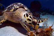 Fauna Originals - Hawks Bill Sea Turtle by Greg Amptman