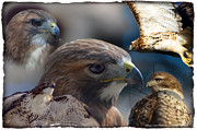 Red Tail Hawk Photographs Posters - Hawks Poster by Matt Steffen