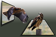 .freedom Mixed Media Metal Prints - Hawks Metal Print by Shane Bechler