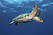 Hawksbill Turtle Posters - Hawksbill Sea Turtle In Mid-water Poster by Karen Doody