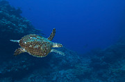 Cheloniidae Prints - Hawksbill Sea Turtle, Kimbe Bay, Papua Print by Steve Jones
