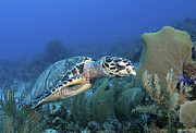 Caribbean Sea Framed Prints - Hawksbill Sea Turtle On Caribbean Reef Framed Print by Karen Doody