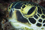 Hawksbill Sea Turtle Posters - Hawksbill Sea Turtle Portrait Poster by Todd Winner