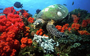 Hawksbill Sea Turtle Posters - Hawksbill Sea Turtle Swimming Poster by Beverly Factor