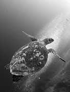 Papua New Guinea Prints - Hawksbill Turtle Ascending Print by Steve Jones