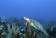 Hawksbill Sea Turtle Prints - Hawksbill Turtle On Caribbean Reef Print by Karen Doody