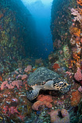 Y120831 Art - Hawksbill Turtle On Reef by Jones/Shimlock-Secret Sea Visions