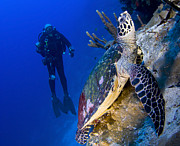 Hawksbill Sea Turtle Prints - Hawksbill Turtle Resting On A Reef Print by Steve Jones