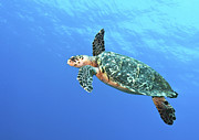 Hawksbill Sea Turtle Posters - Hawksbill Turtle Swimming In Midwater Poster by Karen Doody