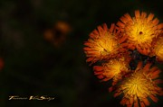 Weed Digital Art - Hawkweed by The Stone Age