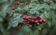 Alps Images Posters - Hawthorn berries Poster by Steven Foster