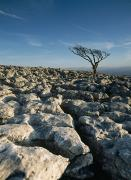 Lone Tree Framed Prints - Hawthorne Tree On Limestone Pavement Framed Print by Axiom Photographic