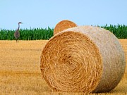 Sandhill Framed Prints - Hay bale with Crane Framed Print by Michael Garyet