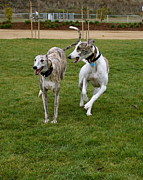 Greyhound Photos - Hayden and Harmony Joyful by Deanne  Rotta
