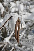 Filbert Framed Prints - Hazelnut Catkins in Snow Framed Print by Matt Cormons