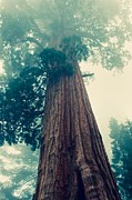 Huge Trees Posters - Hazy Giant Sequoia - cross processing Poster by Hideaki Sakurai