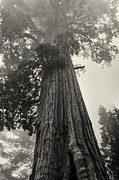 Sequoia National Park Prints - Hazy Giant Sequoia - toning Print by Hideaki Sakurai