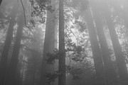 Sequoia Tree Prints - Hazy Sequoia Forest - black and white Print by Hideaki Sakurai