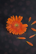 Gerbera Metal Prints - He Loves Me... Metal Print by Joana Kruse