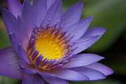 Water Lily Digital Art - He makana nau Ke Aloha - Nymphaea Stellata by Sharon Mau