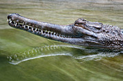 Reptile Photos - Head Above Water by Dan Holm
