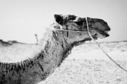Camel Photo Metal Prints - head of a dromedary camel being led through the sahara desert at Douz Tunisia Metal Print by Joe Fox