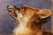 Wild Animal Pastels Posters - Head of a Fox Poster by John Frederick Lewis
