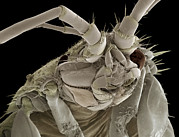 Crustacean Art - Head Of A Freshwater Shrimp, Sem by Steve Gschmeissner