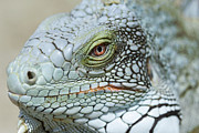 Nostril Framed Prints - Head Of A Green Iguana Framed Print by Georgette Douwma